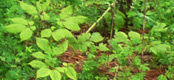 New Zealand forest ginseng